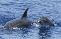 delfin_mular_tursiops_truncatus